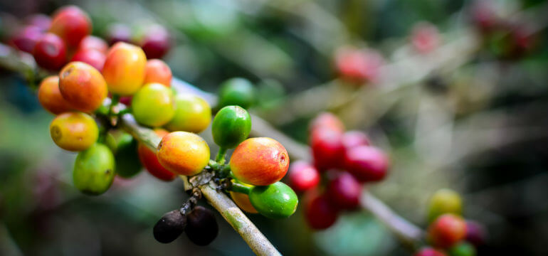 Coffee Beans In A Tree